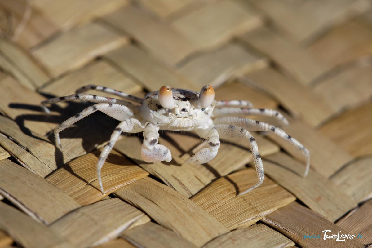 Crabe ewe - Page 13 Crabe-fantome-1_1330544248