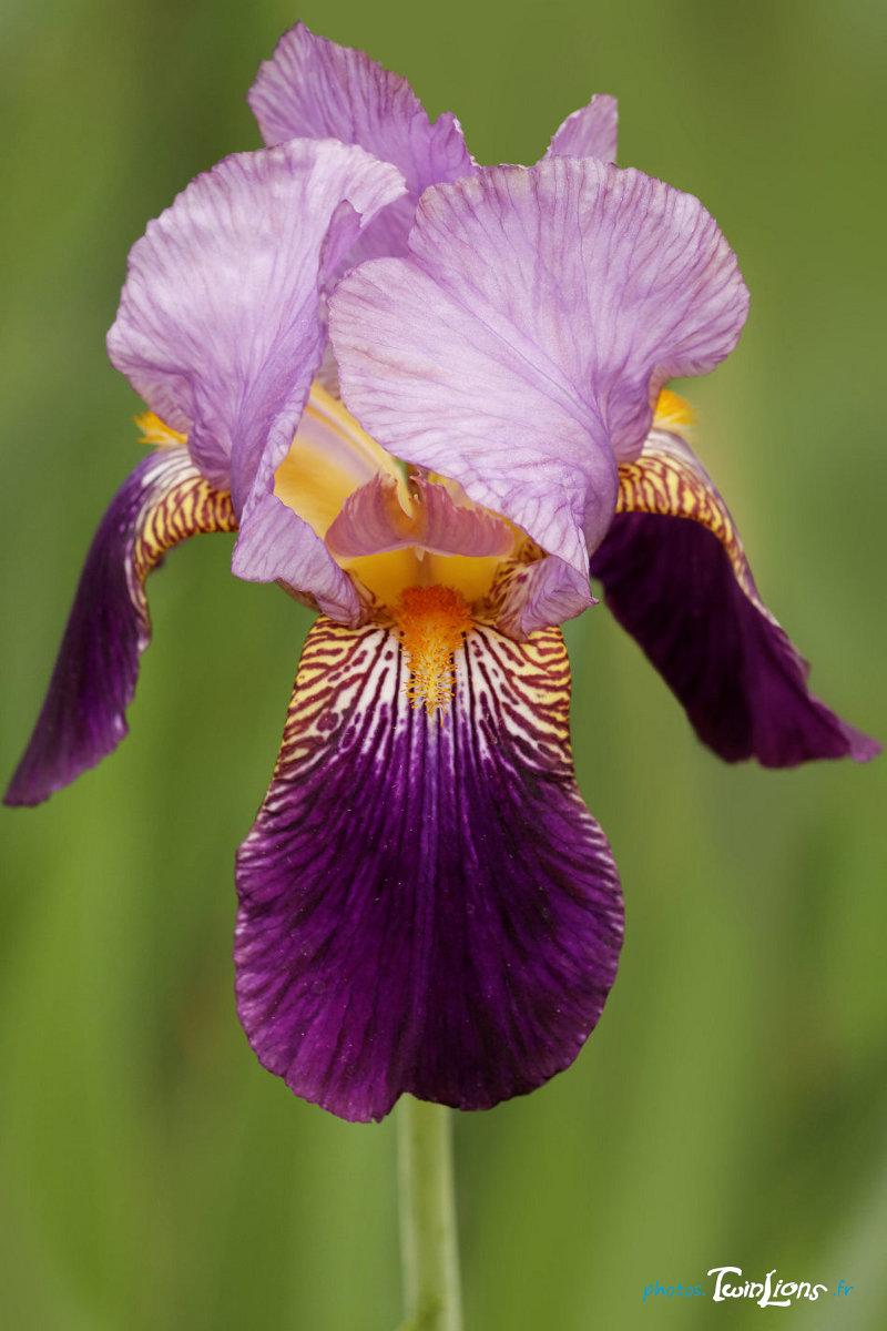 Retouche photo d 39 une fleur d 39 iris sigma 150 macro photos twinlions - Langage des fleurs iris ...
