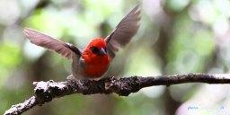 Le Cardinal Foudria rubra – île aux Aigrettes, réserve naturelle de l'île Maurice Photo n°2