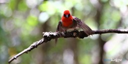 Le Cardinal Foudria rubra – île aux Aigrettes, réserve naturelle de l'île Maurice Photo n°1