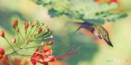 Colibri en vol – Canon 70-200 mm f/2.8 Photo n°1