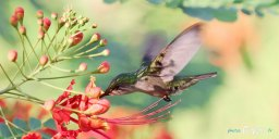 Colibri en vol – Canon 70-200 mm f/2.8 Photo n°2