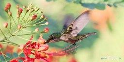 Colibri en vol – Canon 70-200 mm f/2.8 Photo n°2