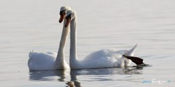 Un couple de cygnes à l'étang de Berre Photo n°2