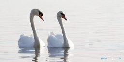Un couple de cygnes à l'étang de Berre Photo n°3