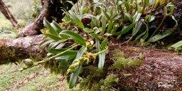 Orchidée Bulbophyllum prismaticum - Réunion Photo n°8