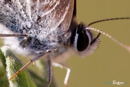 Papillon Azuré – photo macro Photo n°2