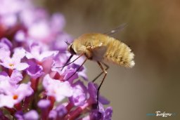 Bombyle Photo n°1