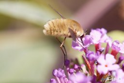 Bombyle Photo n°2
