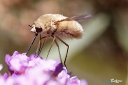Bombyle Photo n°3