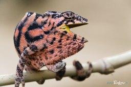 L'endormi, le caméléon de La Réunion Photo n°2