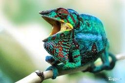 L'endormi, le caméléon de La Réunion Photo n°1
