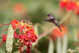 Colibri butinant les fleurs de Flamboyant Photo n°1