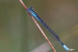 Gros plan sur une Demoiselle bleue – Sigma 150 macro