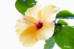 Hibiscus jaune - Canon 17-55 mm Photo n°1
