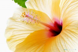 Hibiscus jaune - Canon 17-55 mm Photo n°2