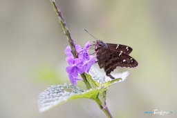 Long-tailed Skipper, un papillon de la Dominique Photo n°1