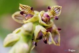 Orchidée Bulbophyllum prismaticum - Réunion