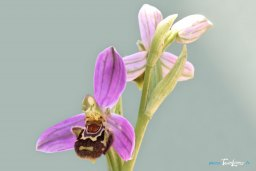 Orchidée Ophrys apifera – France Sud Est Photo n°1
