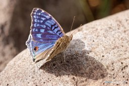 Papillon bleu - Junonia rhadama Photo n°1