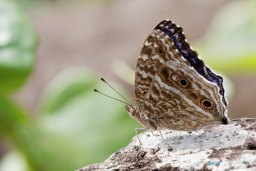Papillon bleu - Junonia rhadama Photo n°2