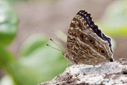 Papillon bleu - Junonia rhadama Photo n°2