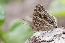 Papillon bleu - Junonia rhadama Photo n°3