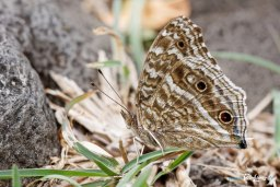 Papillon bleu - Junonia rhadama Photo n°4
