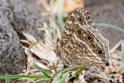 Papillon bleu - Junonia rhadama Photo n°4