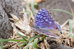 Papillon bleu - Junonia rhadama Photo n°5