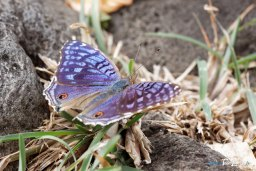 Papillon bleu - Junonia rhadama Photo n°6