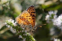 Papillon petit nacré - Sigma 150 avec doubleur