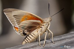 Papillon Paysandisia archon : le ravageur du Palmiers Photo n°2