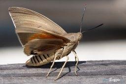 Papillon Paysandisia archon : le ravageur du Palmiers Photo n°1