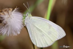 Papillon blanc aux yeux verts ! Photo n°2