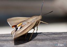 Papillon Paysandisia archon : le ravageur du Palmiers Photo n°3