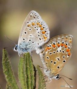 Accouplement de papillons Azurés communs Photo n°2