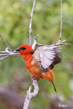 Cardinal (Foudia madagascariensis) – Réunion Photo n°1