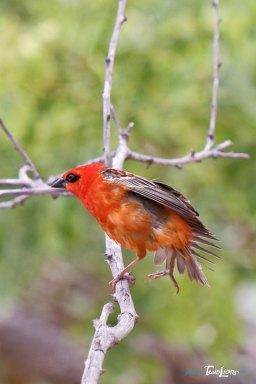 Cardinal (Foudia madagascariensis) – Réunion Photo n°2