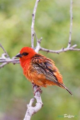 Cardinal (Foudia madagascariensis) – Réunion Photo n°3