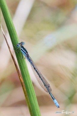 Demoiselle bleue – Sigma 150 macro