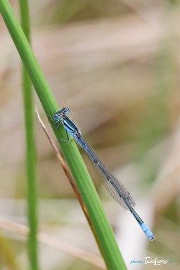 Demoiselle bleue – Sigma 150 macro Photo n°2