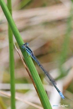 Demoiselle bleue – Sigma 150 macro Photo n°3