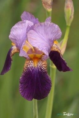 Retouche photo d'une fleur d'Iris – Sigma 150 Macro Photo n°2