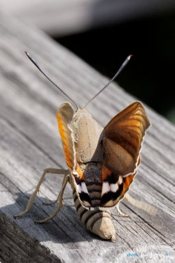 Papillon Paysandisia archon : le ravageur du Palmiers Photo n°4