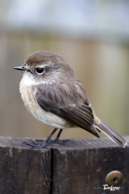 Un oiseau endémique de la Réunion, le