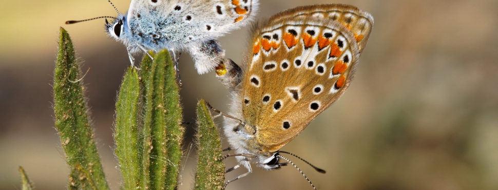 Accouplement de papillons Azurés communs
