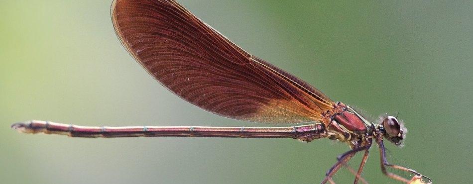 Calopteryx haemorrhoidalis - Méditerranée