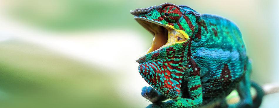 L'endormi, le caméléon de La Réunion