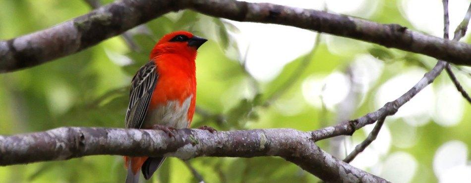 Le Cardinal de Madagascar – Tamron 18-270 mm